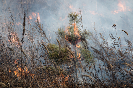 siberian pine: small Siberian pine burns in a fire
