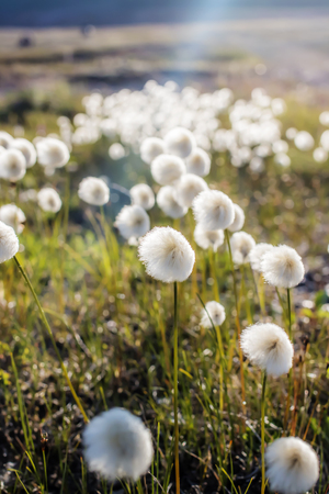 in tundra flowers Arctic cotton grass