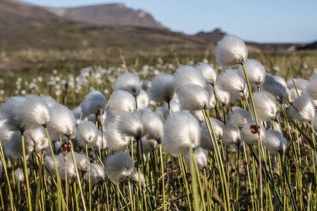 flower of the cotton grass Arctic