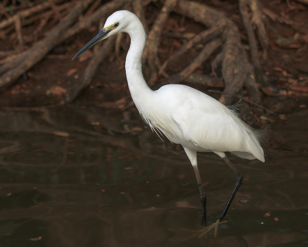 white egret hunting for small fish in the pond Foto de archivo - 94807628