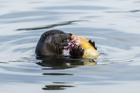 wild otter Breakfast with fish in the river