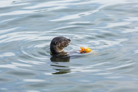 otter successfully fished in the Singapore river