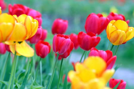 abound: yellow and pink tulips