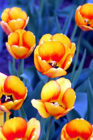 yellow tulips on the blue photo