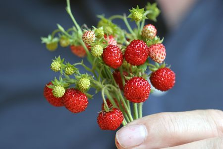 wild strawberry: bunch of wild strawberry