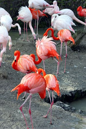 group of flamingos Stock Photo - 468671
