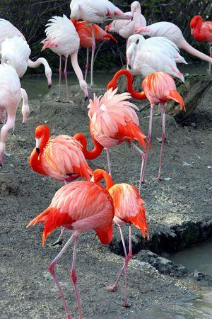 group of flamingos Stock Photo - 468671