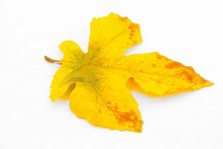 yellow leaf photo