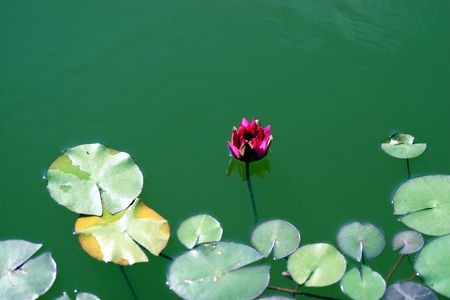 lily in the green water lake photo