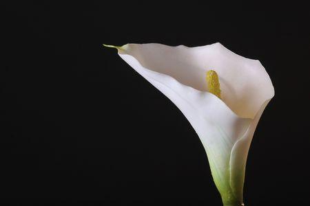 calla lily photo