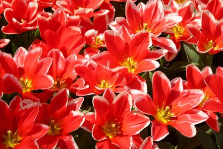 blossoming red tulips Stock Photo - 2951178