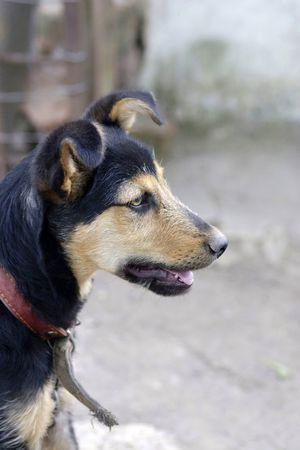 gaurd: Domestic dog