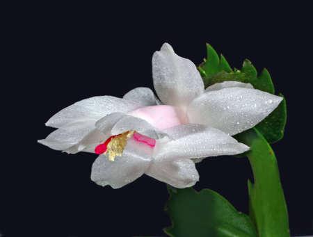 bashful flower of zygocactus with drop over black background photo