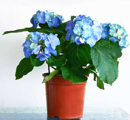 Flowered hydrangea in pot in front of white background photo