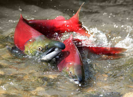 spawning: male and female red salmon in river before spawning