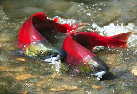salmon fish: Wild male and female red salmon in river before spawning in symmetric position