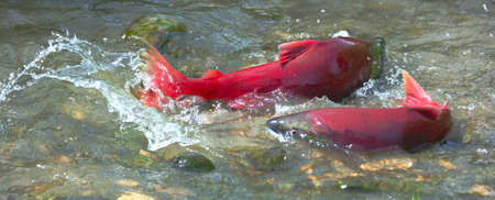 Male and female sockeye salmon  red salmon   during spawning in the shallow creek Stock Photo