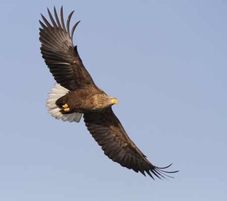 tailed: White Tailed Eagle flying in the sky, looking out for prey