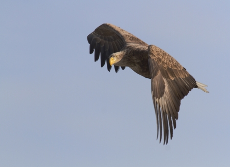 tailed: White tailed eagle flies in the sky, it seems thoughtful pose