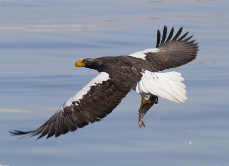 Steller s sea eagle  with prey photo