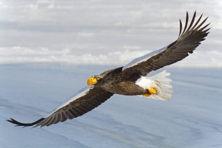 Steller  eagle flies in the sky photo