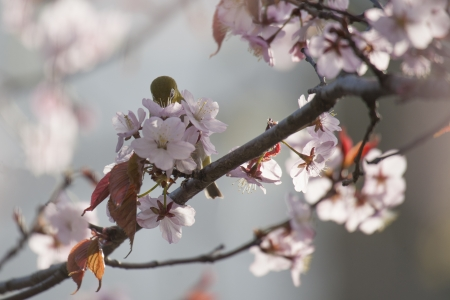 White-eye bird on blooming cherry on light gray  background photo