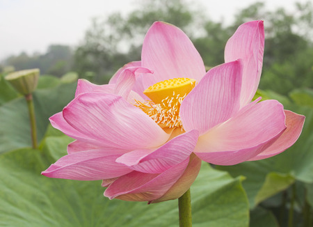 lily flowers: Pink lotus flower on the water surrounded by green leaves