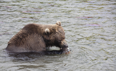 salmon falls: brown bear catch fish and eat it in the lake,  Russia, Kamchatka