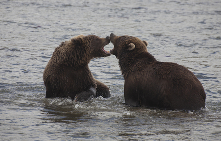 kuril: Two young bears playing in the water of Lake Kuril
