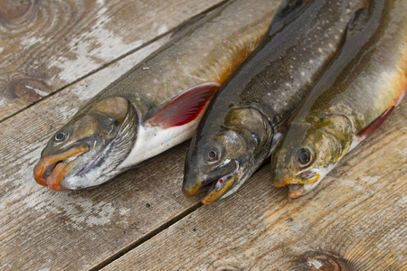 salmon falls: Three beautiful wild-caught salmon is sockeye, who lives in the lake and never falls into the sea, called the Kokanee in Russia Stock Photo