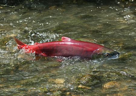truchas: rojo femenina prisa salmón rojo salmón salvaje para desovar en el arroyo poco profundo Foto de archivo