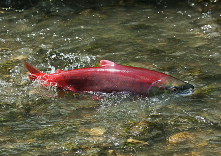 female red wild salmon sockeye hurry to spawn in the shallow creek