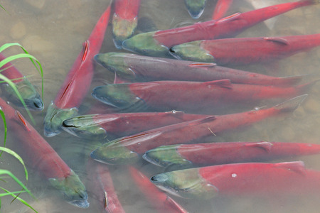 spawning: Red salmon - sockeye salmon spawning in a shallow creek, still resting a lot of fish