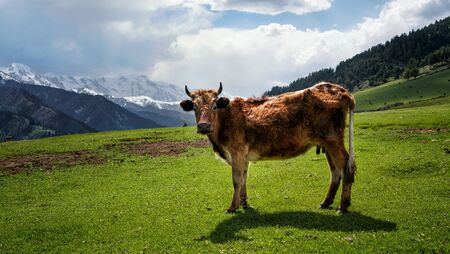 Cow on a green meadow with mountains in the background