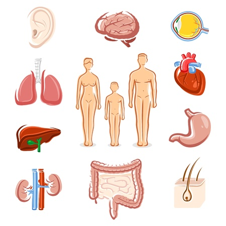 Human organs set  Silhouette people  Vector Stock Vector - 21261146