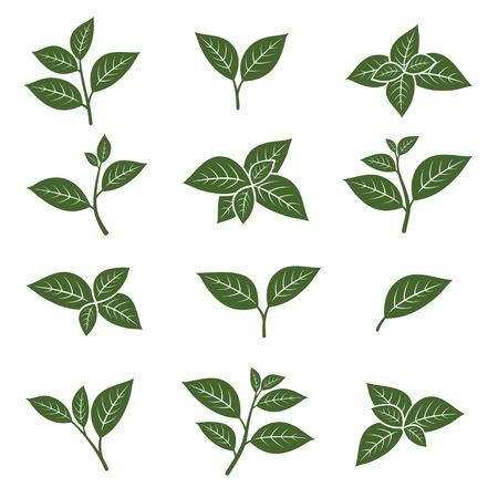 naturaleza: Establece la colección de hojas de té verde. Vector Vectores