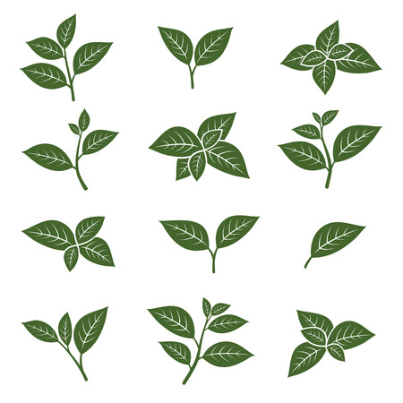 branch isolated: Green tea leaf collection set. Vector