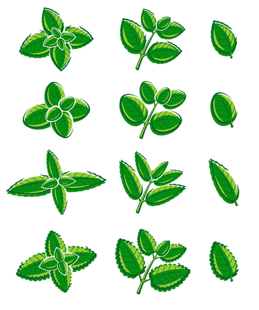 mint: Mint leaves set. Vector illustration