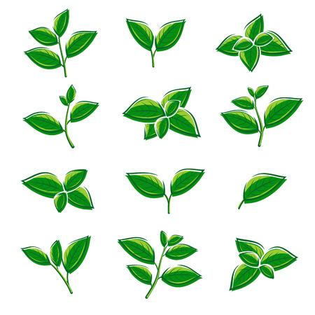 Green tea leaf collection set. Vector illustration