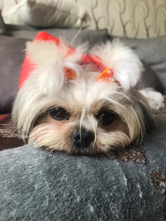 Little shaggy dog with a bow Little shaggy dog with a bow
