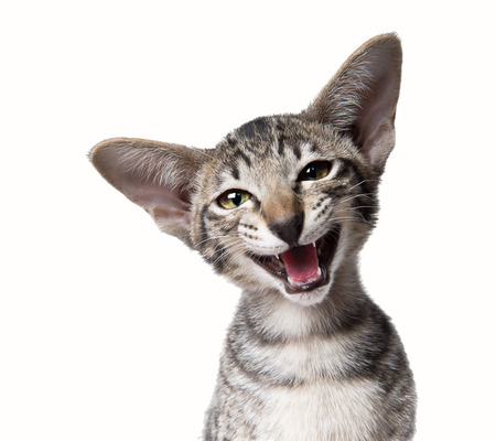 Funny smiling ugly meowing small kitten  Close up portrait isolated on white
