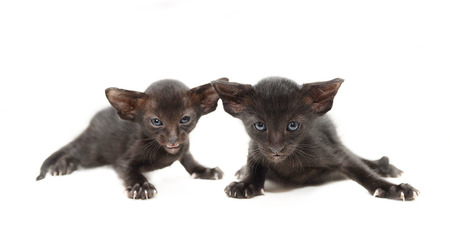Two very small cute black chocolate oriental kitten isolated on white  focus on the right kitten   photo