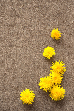 Dandelions on the felt background, nice spring shot, copy space left  photo
