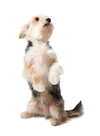 half breed: Charming dog sitting on its hind legs isolated on white background Stock Photo