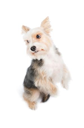 pardon: dog begging pardon isolated on white background Stock Photo