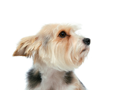 eyecontact: sad friendly dog with attentive look isolated on hite
