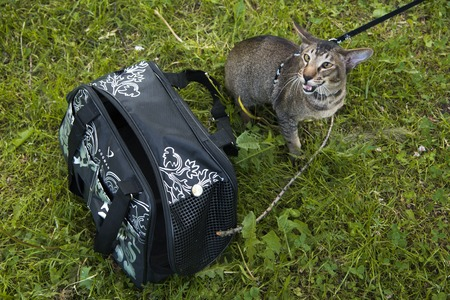 cat carrier: tabby cat outdoor near cat carrier in the walk
