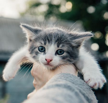 full blooded: Cute kitten in the hand outdoor summer evening