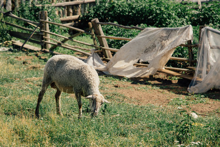 agri: Female sheep grazing countryside in summer near fence Stock Photo