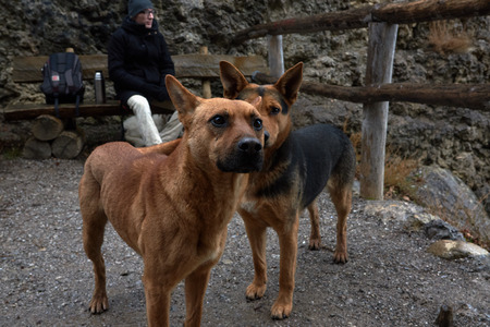 Two rufous stray dogs in Crimea seashore in rainy weather